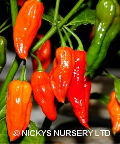 Bhut Jolokia pepper seeds